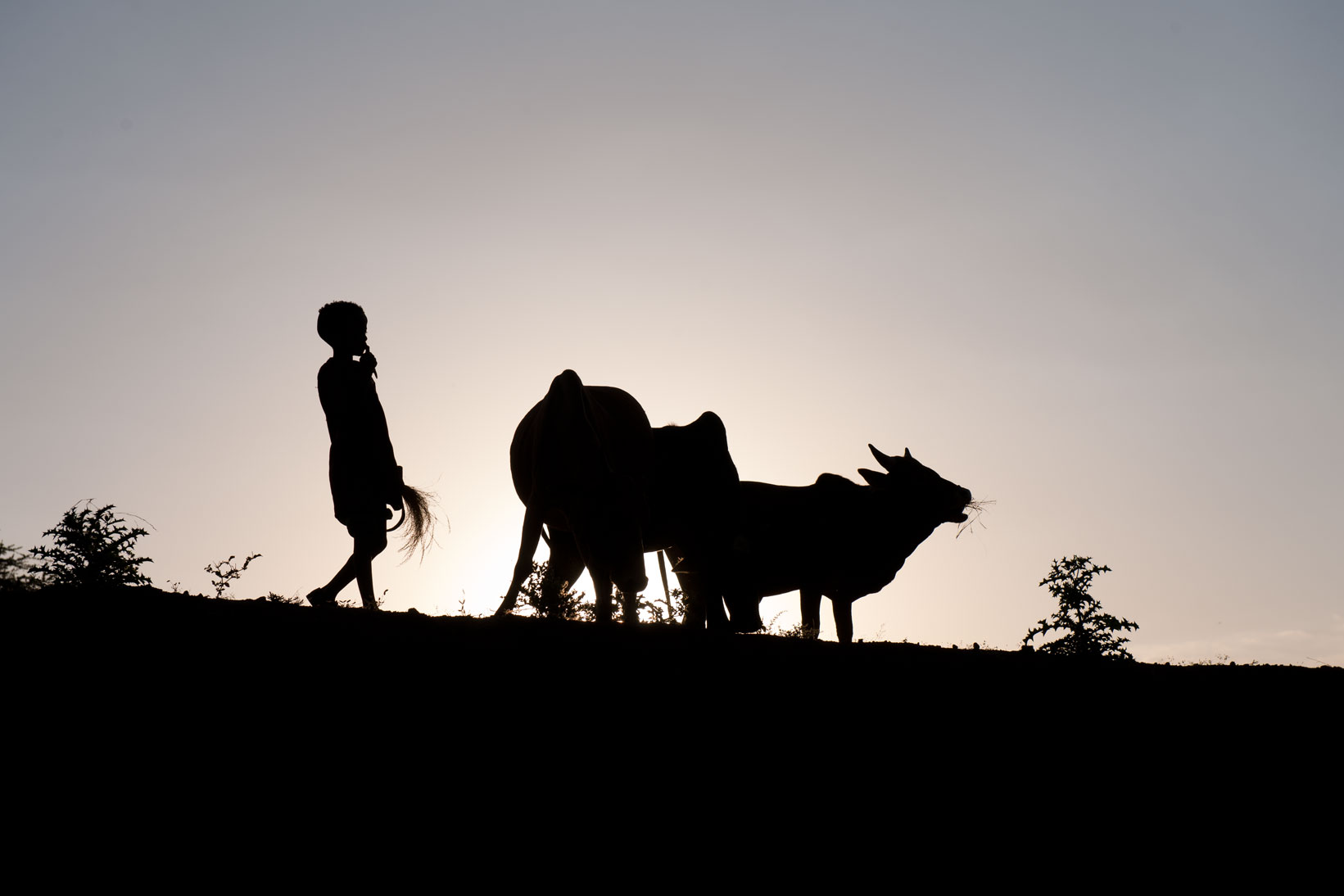 Youth tending cattle - Tigray, Ethiopia